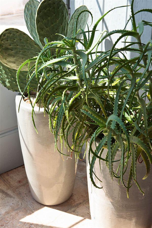 20 plantas de interior resistentes aptas para negados for Cactus cuidados interior