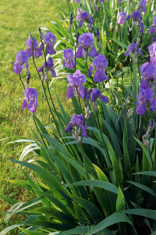 Plantas De Exterior Lirio Azul